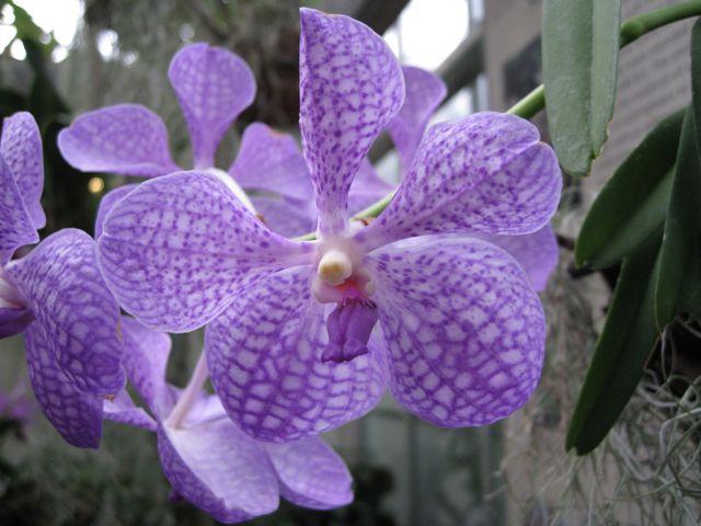 orchidee bleue guerlain